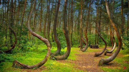 Кривой лес , Клуж-Напока , Румыния